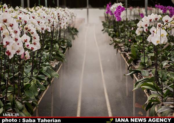 آبیاری تیپ گل ارکیده در گلخانه
