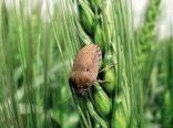 پیشبینی 3 برابری مبارزات علیه سن گندم در خراسانشمالی درسال آینده