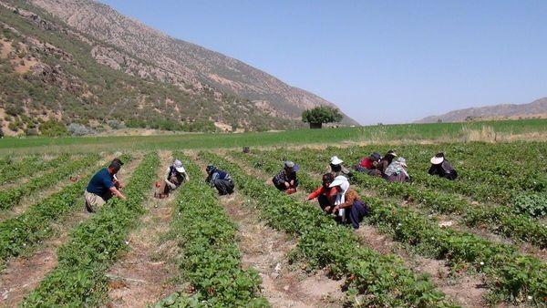 توت فرنگی برای ۸۶۰ نفر در مریوان شغل ایجاد کرده است
