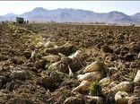 ۷۴ هزار تُن چغندرقند از کشتزارهای خراسان شمالی برداشت شد