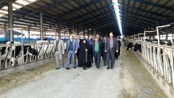 استاندار قزوین از یک واحد پرورش  گاو شیری در بوئین زهرا بازدید کرد