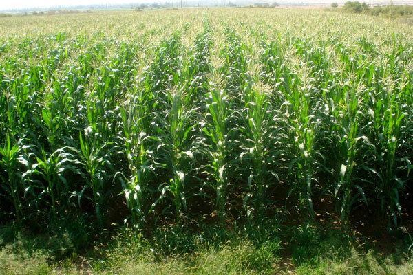 برداشت ذرت دانهای در سطح 150 هکتار از اراضی کشاورزی شهرستان درهشهر