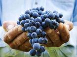 استان خراسان شمالی در صدر تولید انگور در میان استان های کشور/ تولید 3.2 میلیون تن انگور در ایران