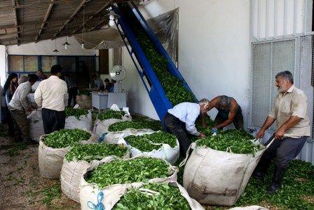 قیمت تضمینی برگ سبز چای افزایش یافت