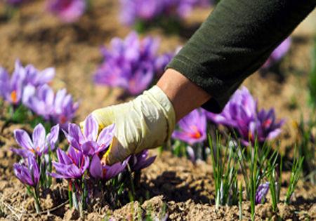 احداث باغهای جدید در اراضی شیبدار و کشت گیاهان دارویی در شهرستان درهشهر