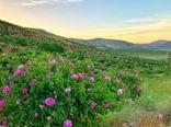 آغاز برداشت از بزرگترین دشت گل محمدی دیم جهان