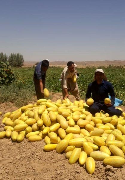 خربزه های زرین دشت در میادین فارس