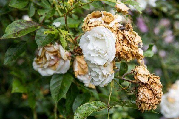 خسارت کرونا به تولید کنندگان گل رز شهرستان اردل