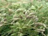 آغاز برداشت محصول زیره سبز در مزارع دشت پرزان شهرضا