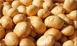 لارستان تنها قطب تولید سیب زمینی طرح استمرار در فارس