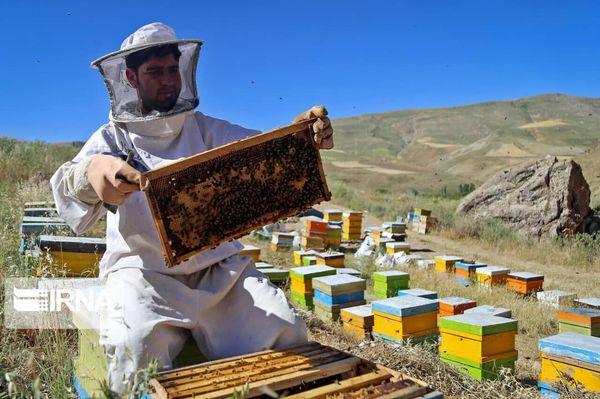 افزایش ۵۰ درصدی تولید عسل در مهاباد