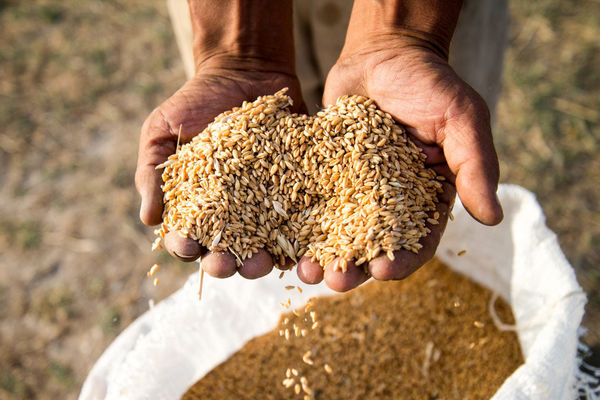 امسال ۱۳ میلیون و ۴۰۰ هزار تن گندم در کشور تولید میشود