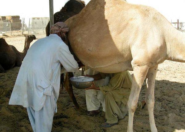 درآمد 385 میلیارد ریالی شیر شتر برای بهرهبرداران خراسانجنوبی