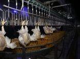 ذخیرهسازی روزانه بیش از ۲۰ تن مرغ در خراسان شمالی
