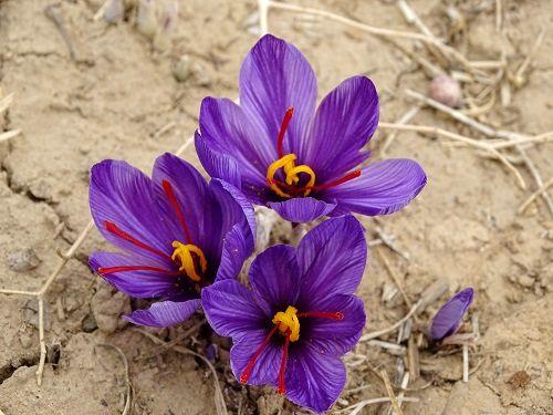 لزوم رعایت پروتکلهای بهداشتی در برداشت زعفران