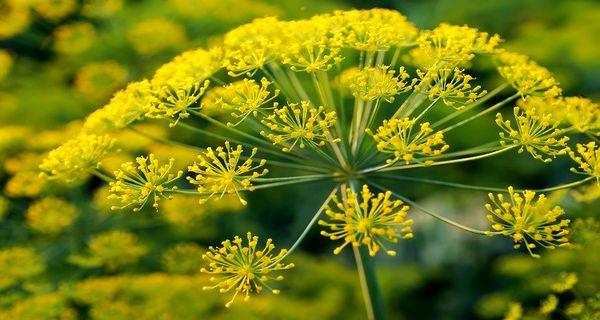 برداشت گیاهان دارویی در سطح جنگل ها و مراتع ممنوع است