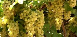 افزایش 10درصدی کشت انگور برخوار