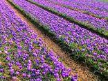 یک هزار میلیارد ریال خسارت به باغات و مزارع زعفران خراسان رضوی