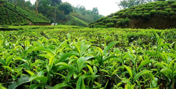 تولید 135 هزار تنی برگ سبز چای در سال جاری