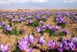 تولید بالغ بر 100 کیلوگرم زعفران در سپیدان