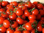 خرید توافقی 45 هزار تن گوجه فرنگی از کشاورزان