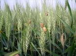 طرح مبارزه با سن غلات در 7000 هیتار مزارع قم