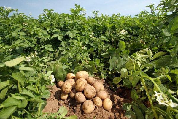 برداشت بیش از ۱۰۰ هزار تن سیب زمینی  از مزارع شهرستان سراب