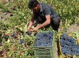 تولید انگور در سروآباد ۳۰ درصد افزایش یافت