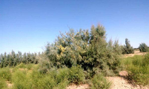 مشاهده اولین گروه ملخ صحرایی به مزارع منطقه ده رضا شهرستان ریگان