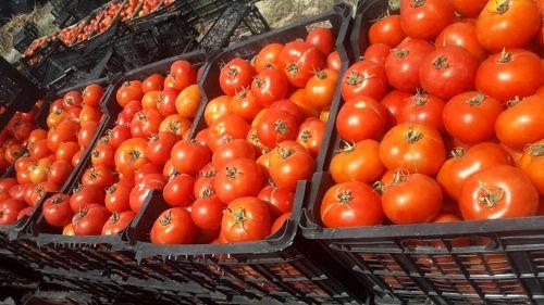 برداشت گوجه فرنگی  در فراشبند آغاز شد