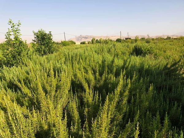 تولید بیش از 30 هزار تن انواع گیاهان دارویی در خوزستان