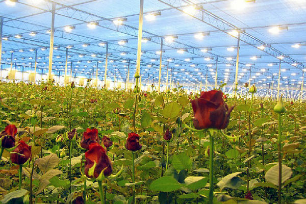 کهگیلویه و بویراحمد، قطب تولید گل در کشور میشود