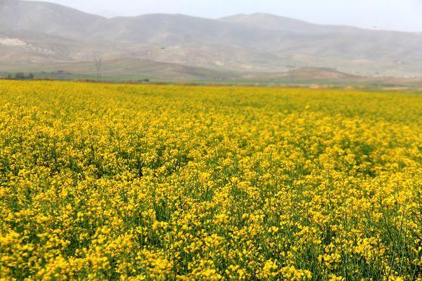 پیشبینی برداشت یک هزار و 200 تن کلزا از مزارع چهارمحال و بختیاری