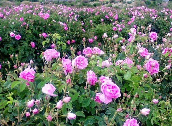 تولید گل محمدی در یزد ۲۵ درصد افزایش دارد