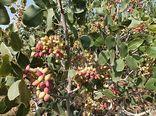 برداشت بیش از 15هزار تن پسته از باغات شهرستان سیرجان