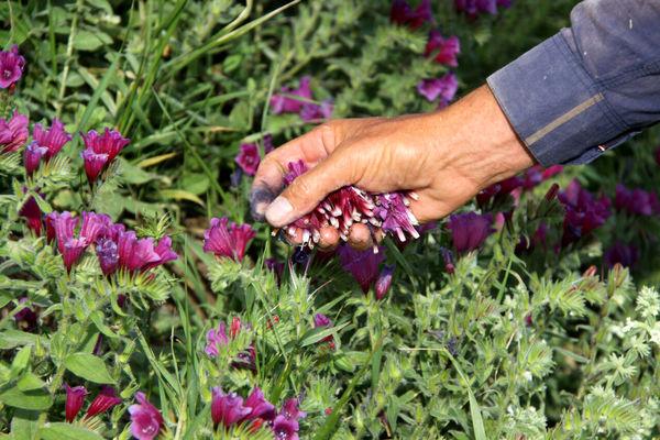۹۵ تن محصول گیاهان دارویی در ابرکوه برداشت شد
