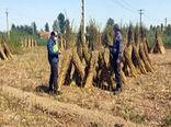 برداشت 165 تن دانه روغنی کنجد از 50 هکتار از اراضی زراعی شهرستان خداآفرین