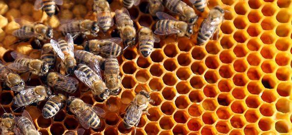 جهش ۱۱۶ درصدی تولید عسل با توسعه صنعت زنبورداری در اصفهان