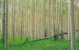 شناسایی 38 هکتار اراضی میاندورود برای زراعت چوب/ هدفگذاری 128 هکتاری