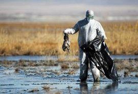 رخداد بیماری آنفلوانزای فوق حاد پرندگان در حیات وحش استانهای مرکزی، اردبیل و مازندران