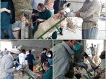آغاز عملیات تلقیح مصنوعی گوسفند و بز برای اصلاح نژاد دام های بومی در شهرستان شهربابک