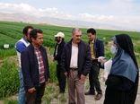 بازدید سرپرست جهاد کشاورزی شهرستان آبیک از مزرعه Pvs گندم آبی در منطقه زیاران