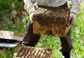 شهرستان رابر رتبه اول تولید عسل در استان کرمان