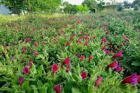 کشت گیاهان داروئی در استان از استقبال خوبی برخوردار است