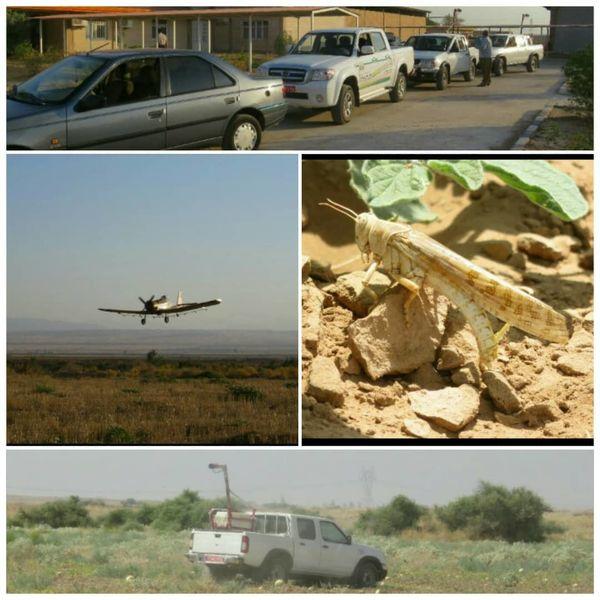 مبارزه با آفت ملخ صحرایی در 15 هزار هکتار از مزارع استان ایلام