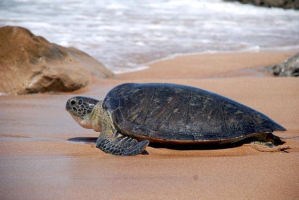 لاکپشتهای دریایی در خلیجفارس و دریای عمان
