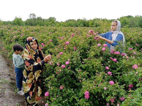 رتبه پنجم  آذربایجان شرقی در سطح زیرکشت باغات گل محمدی کشور