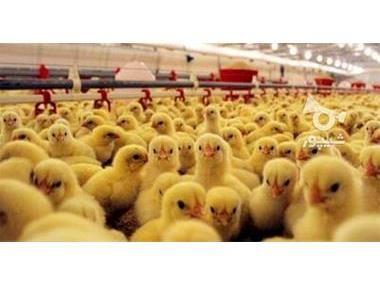 جوجه ریزی 12 میلیون قطعه ای در ساری/تولید 42 هزار تنی گوشت سفید