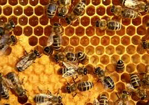 وجود بیش از ۳۰۰ هزار کلنی زنبورعسل در همدان