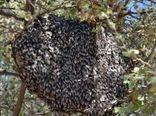 از زنبور عسل ریز و بومی استان محافظت کنیم